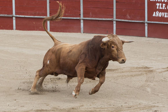 A bull in a novillada without picadors